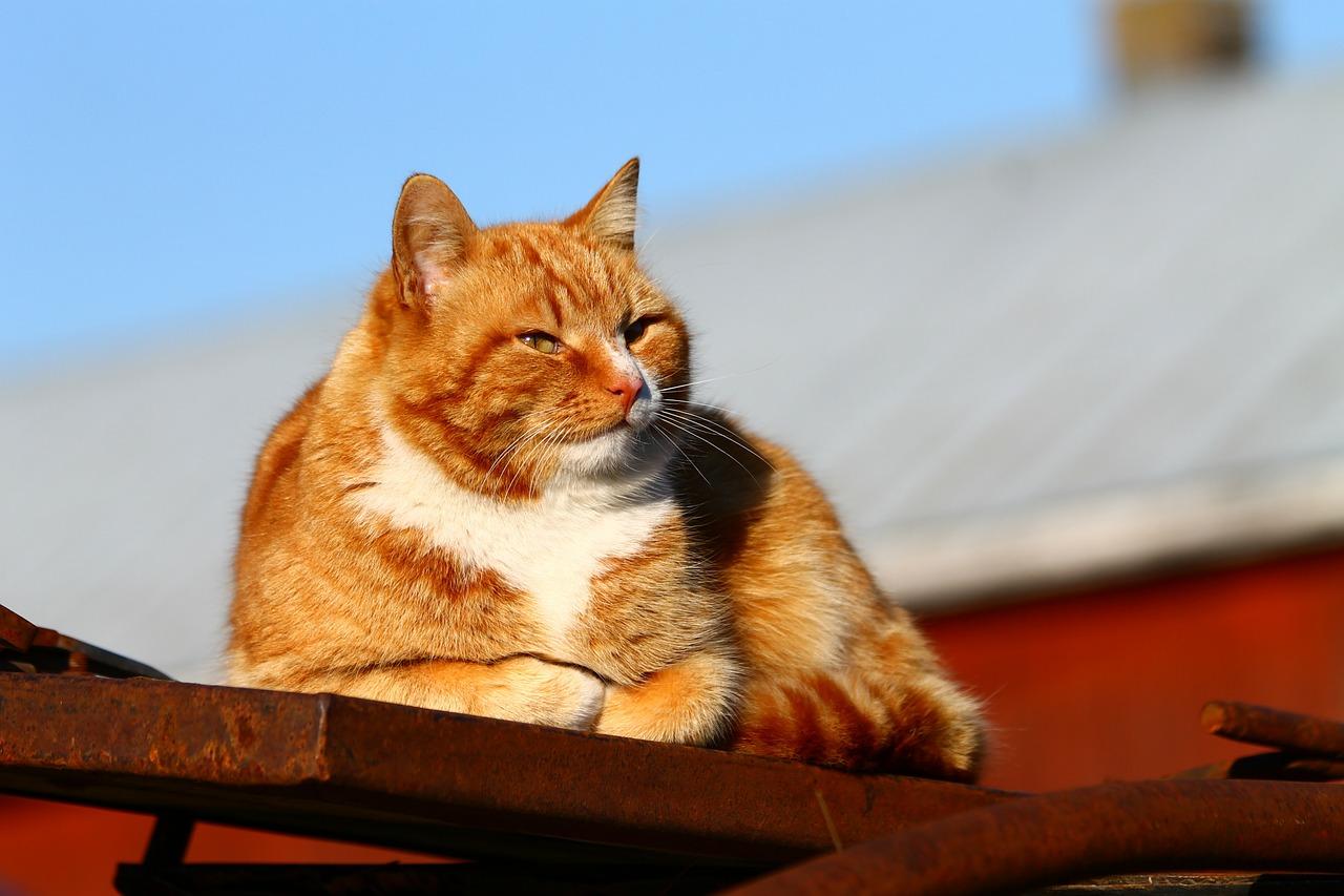 Wie man eine fette Katze auf Diät bringt