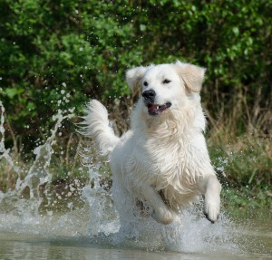 golden-retriever-672814_1280
